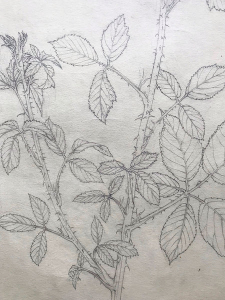 Illustration of Blackberry Thorns in Pencil