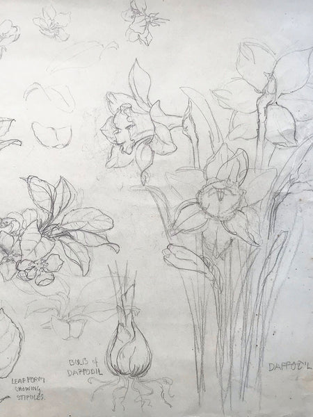 Illustration of Daffodils, Apples and Bulbs in Pencil