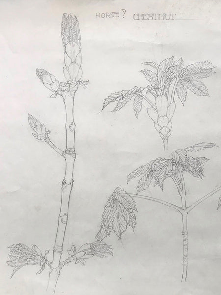 Original Illustration of Horse Chestnut in Pencil