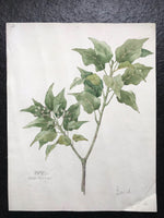 Ivy From Memory - Signed