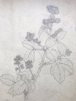 Original Illustration of Blackberries