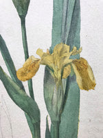 Iris in Watercolour and Pencil - ESK
