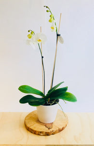 Phaelenopsis Orchid Plant