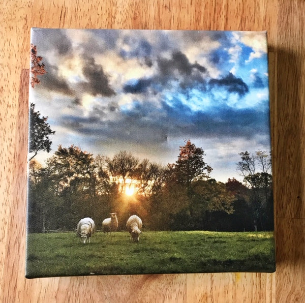 Sheep Trio, Gallery Wrapped Canvas