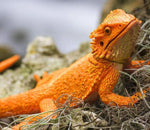 Safari Ltd Bearded Dragon Miniature