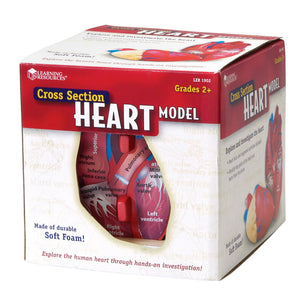 Human Heart Crosssection Model