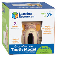 Tooth Cross-section Model