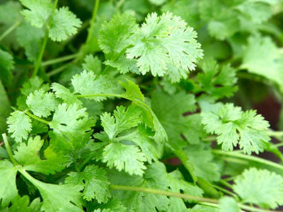 Buy Hydroponically Grown Fresh Coriander Online At Orgpick