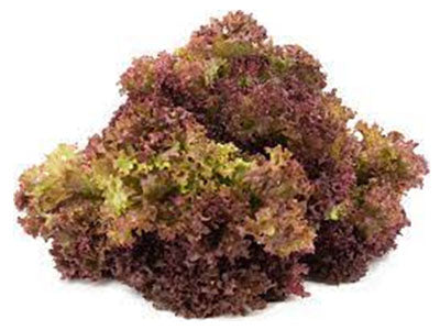 Buy Hydroponically Grown Red Lollo Rosso Lettuce Online At Orgpick