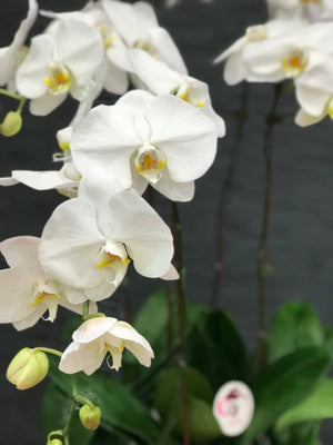 Load image into Gallery viewer, PHALAENOPSIS ORCHID WHITE IN VASE