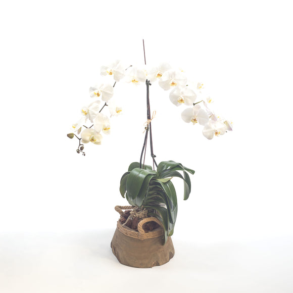 Orchid-White Philaenopsis in Pot