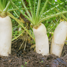 Load image into Gallery viewer, Daikon Radish Seeds - Organic, Non-GMO