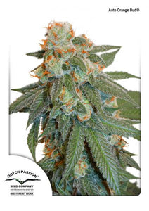 Orange Bud 3 semi autofiorenti DUTCH PASSION - HEMPOINT CBD