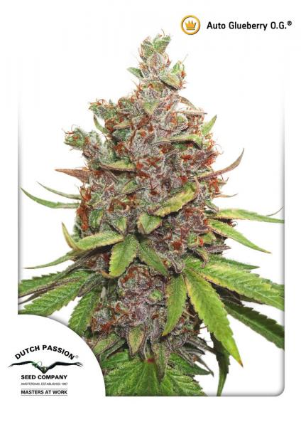 Glueberry O.G 3 semi autofiorenti DUTCH PASSION - HEMPOINT CBD