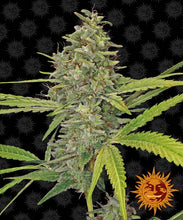 Load image into Gallery viewer, G13 HAZE 3 semi femminizzati Barney's Farm - HEMPOINT CBD