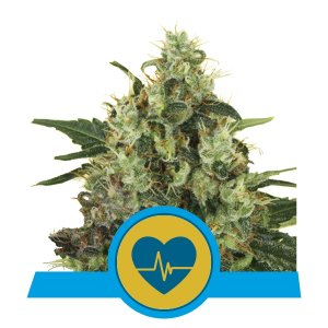 MEDICAL MASS ROYAL QUEEN SEEDS 5 SEMI - HEMPOINT CBD