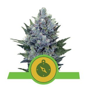 NORTHERN LIGHT AUTOMATIC  ROYAL QUEEN SEEDS 10 SEMI - HEMPOINT CBD