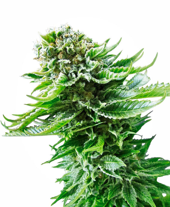 Northern Lights 3 Autofiorenti Sensi Seeds - HEMPOINT CBD