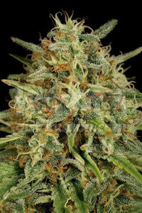 Dinafem Seeds Strawberry Amnesia Femminizzati - HEMPOINT CBD