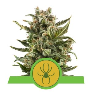 WHITE WIDOW AUTOMATIC ROYAL QUEEN SEEDS 3 SEMI - HEMPOINT CBD