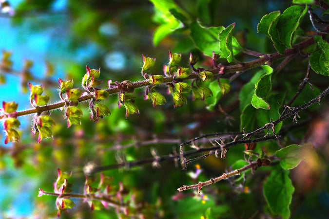 Top 5 Ayurvedic Herbs For Spring