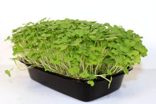Load image into Gallery viewer, Hydrofresh - Living Curled Cress Microgreens