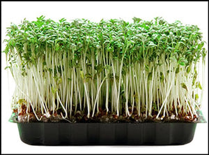 Hydrofresh - Living Curled Cress Microgreens
