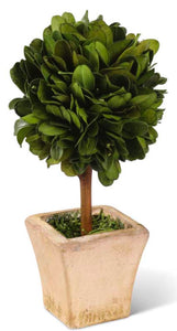 Boxwood Mini Topiary In Pot 6""