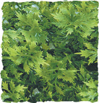 zoo-med-natural-bush-plant-australian-maple-small