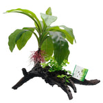 fluval-striped-anubias-plant-root-13-5-inch