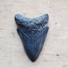 Genuine Fossil Megalodon Tooth 3 1/4 inches