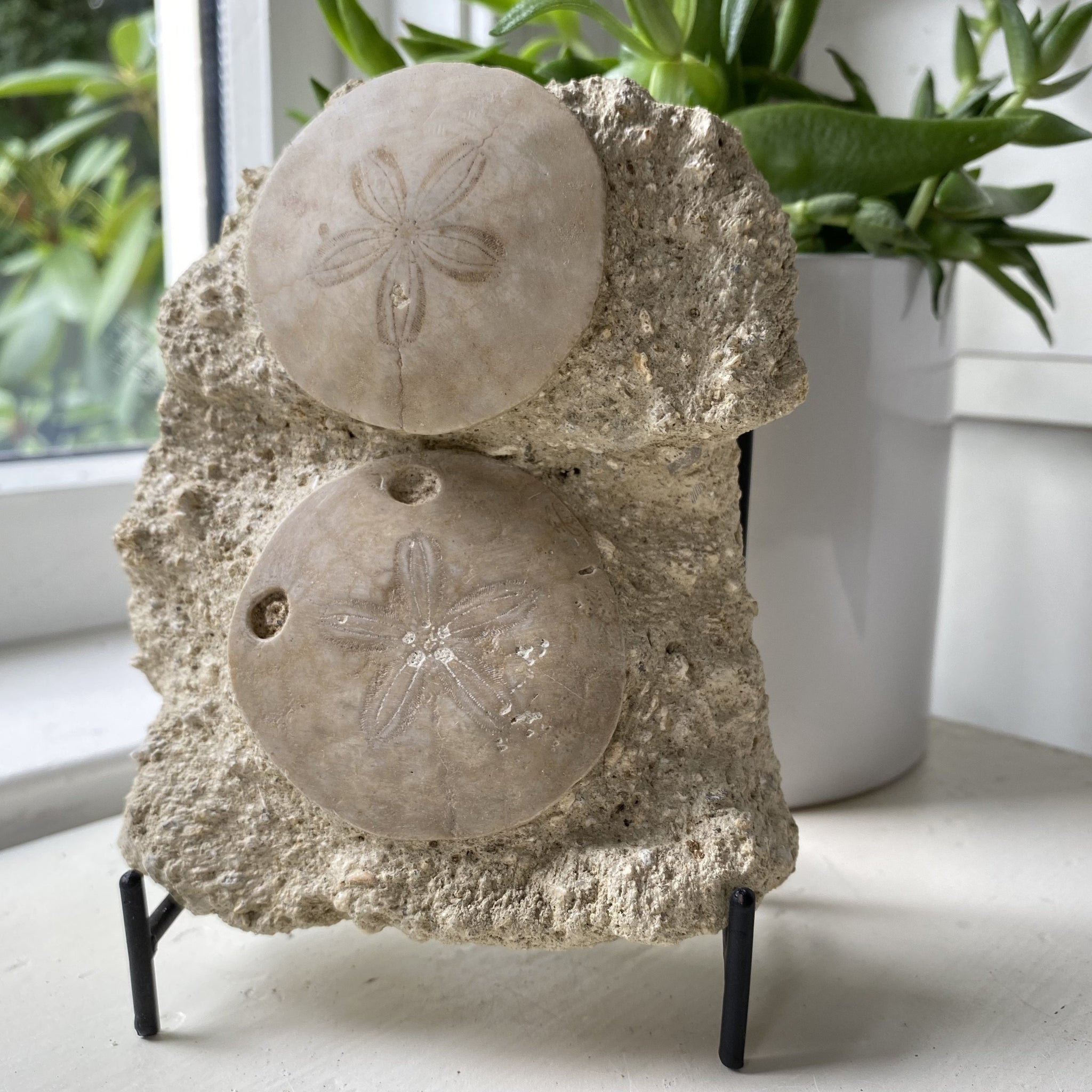fossil sand dollar with stand
