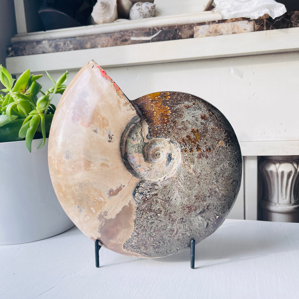 ammonite fossil on metal stand