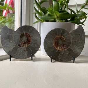 Polished Ammonite Fossil Pair with Metal Stands