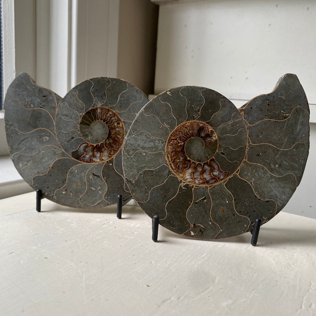 polished ammonite fossil pair with stands