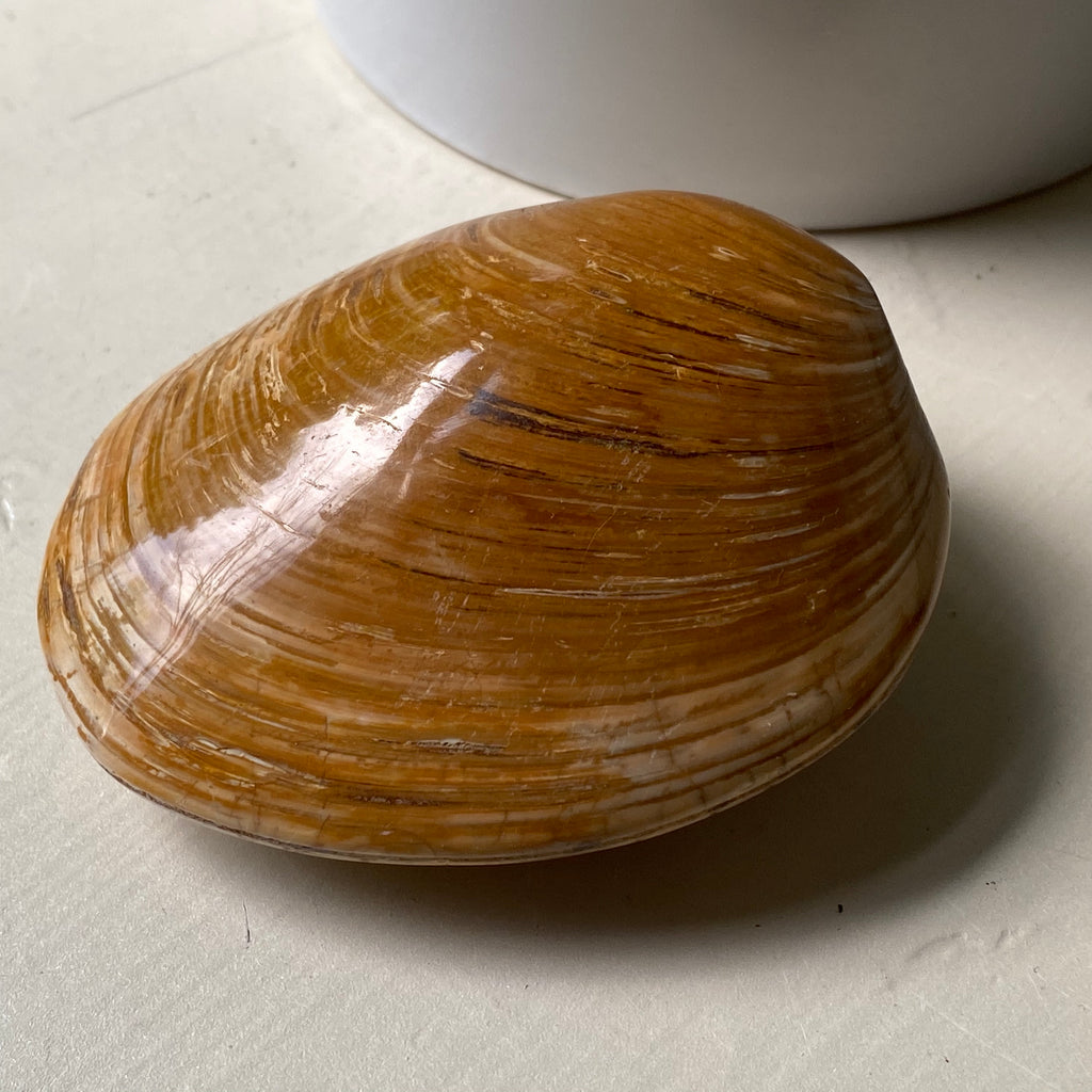 fossilized clam shell from Madagascar