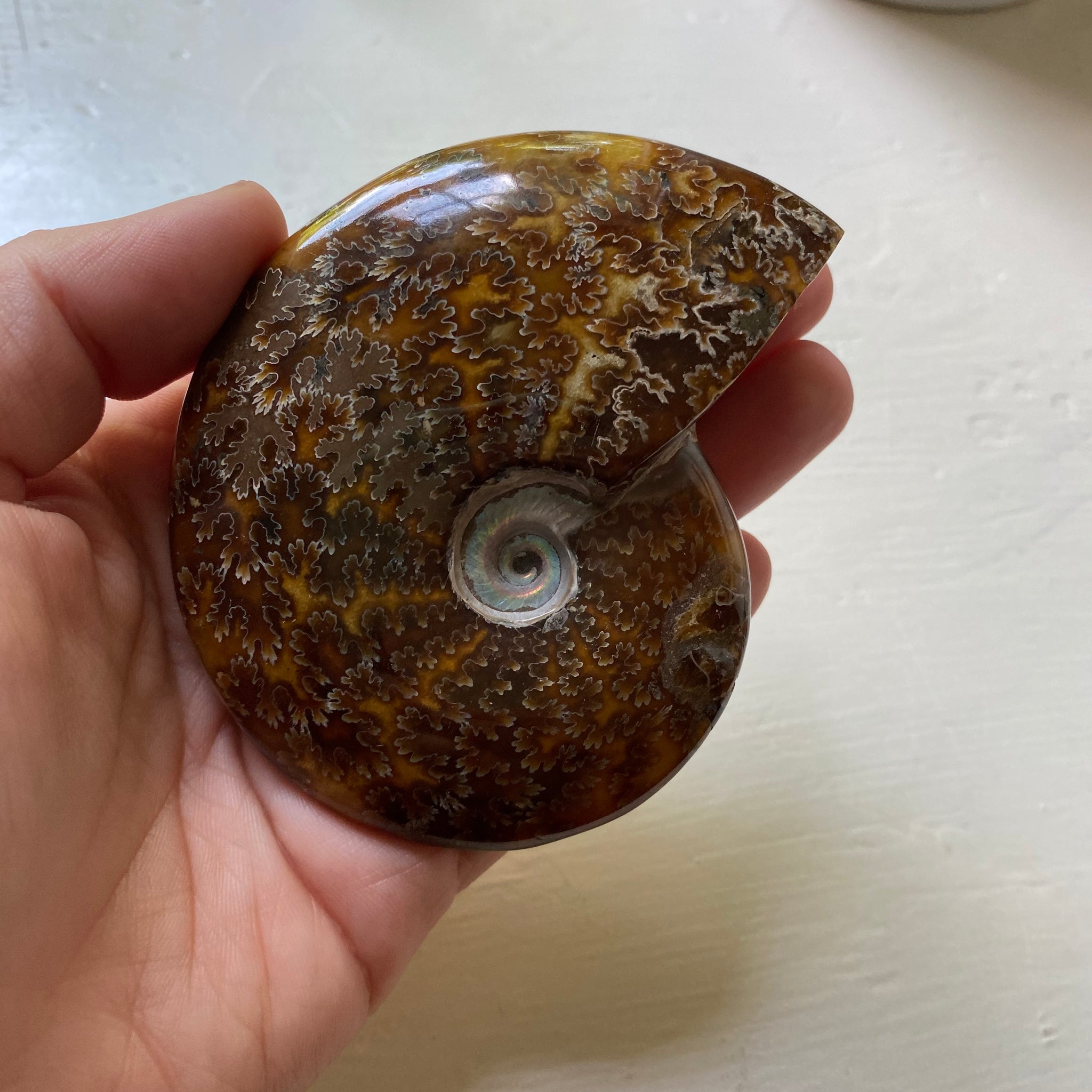 Polished Sutured Ammonite Fossil