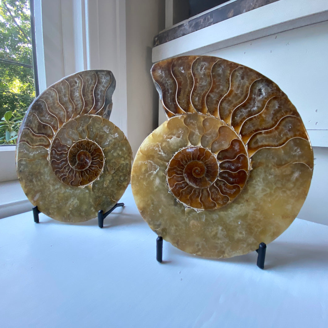 ammonite fossil pair on meta stand