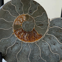 Polished Ammonite Fossil Pair with Ammolite on Metal Stands