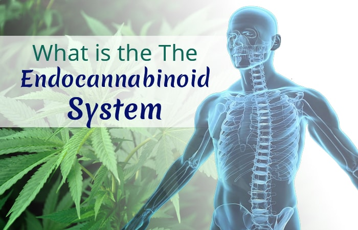 What's the Endocannabinoid System? Regulate Your Body