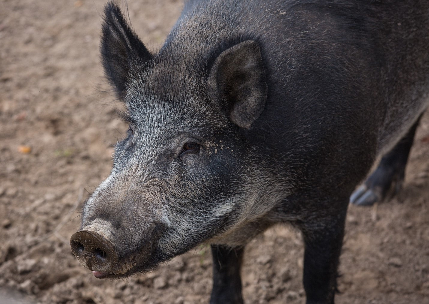 A picture containing ground, mammal, outdoor, swine