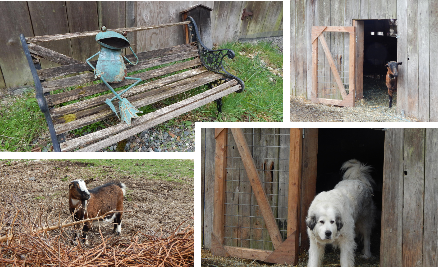 farmer frog's livestock guard dogs and goats