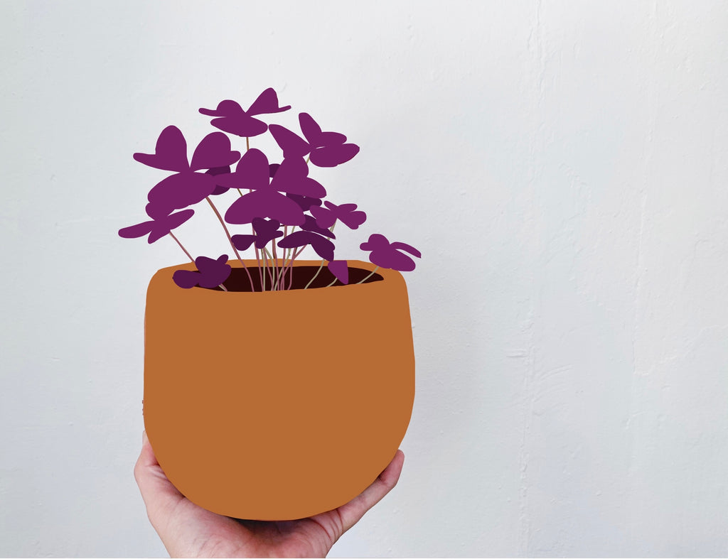 Oxalis triangularis: Plant Care Tips