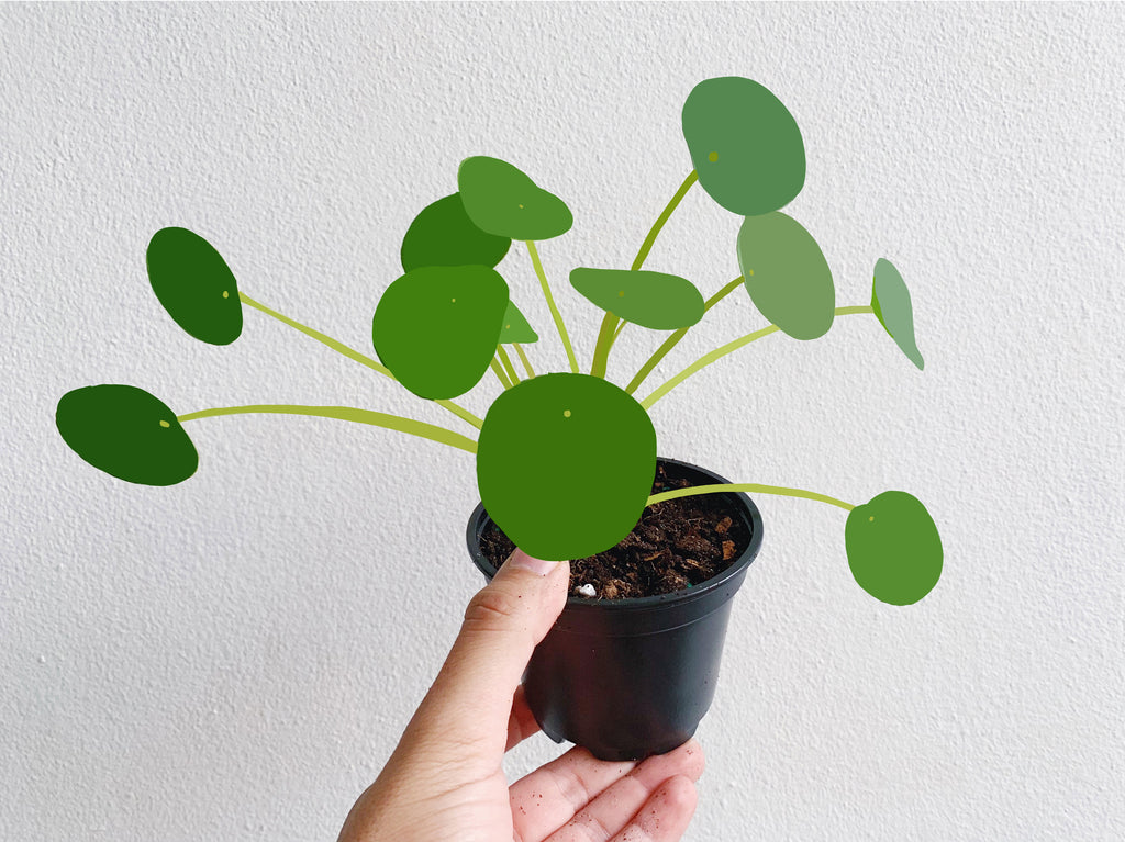 Pilea peperomioides: Plant Care Tips