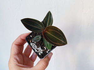 Ludochilus 'Sea Turtle' Hybrid Jewel Orchid