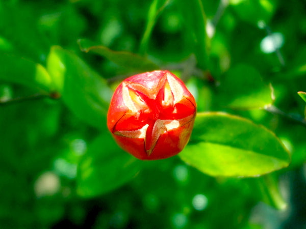 Pomegranate flower bud