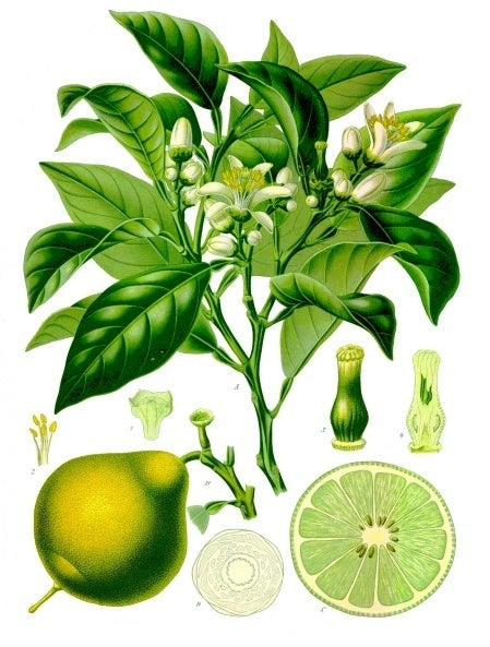 Botanical bergamot orange illustration