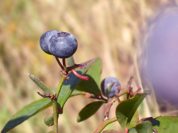 Blueberry tea idea from Informal Tea Co.