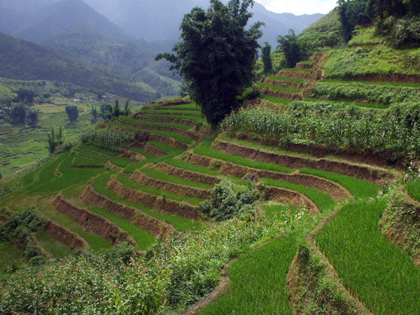 rise paddies on terraced cambodia mountainside