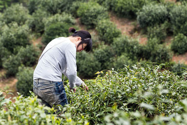 picking eco conscious tea in china